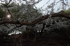 Plum Blossoms (ToddinNantou) Tags: flowers taiwan 南投 台灣 plumblossoms 梅花 nantou 南投縣 d90 信義鄉 sigma28mmf18 xinyitownship