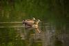 Gänsepärchen (Alias_Axel_Ryder) Tags: bird water animal tiere wasser enten vögel ente neckar tübingen pärchen neckarinsel entenpärchen