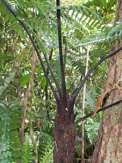 Dicksonia thyrsopteroides