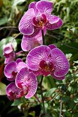 Singapore (Herculeus.) Tags: gardens singapore purple orchids indoor cloudforest flowersplants arboreteum 5photosaday gardensbythebay