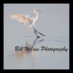 Egret (wildlifephotonj) Tags: bird nature birds wildlife beachbirds egret egrets naturephotography shorebirds wadingbirds naturephotos wildlifephotography wildlifephotos natureprints wildlifephotographynj naturephotographynj