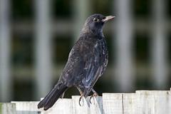 Young Blackbird (stevedewey2000) Tags: bird birds blackbird firstwinter sigma150500 yongnuoyn560
