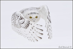 In your face (Earl Reinink) Tags: white nature owl earl snowyowl naturephotography specanimalphotooftheday earlreinink reinink dazduuadoa