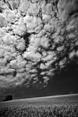 Galerie-Neu (Markus Koepf) Tags: kunst landwirtschaft natur pflanzen feld himmel sw landschaft raps wollen rapsfeld firmament