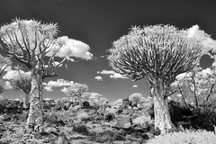 Quiver Tree Forest (zenseas : )) Tags: camping camp vacation blackandwhite bw holiday hot monochrome ir desert surreal dry infrared stark namibia arid digitalinfrared keetmanshoop quivertree kokerboom aloedichotoma quivertreeforest choje kokerboomwoud quivertreerestcamp