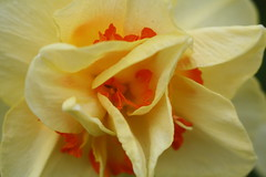 Up close with some ruffley daffodils (TheFairView) Tags: flowers ruffles petals daffodils springflowers springbulbs floweres