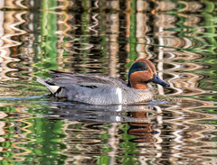 Green Winged Teal (edmason88) Tags: alberta wetlands secluded resident greenwingedteal strathconacounty tamron150600