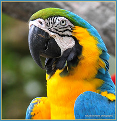 Blue and Gold Macaw (natural wonders photography) Tags: social colourful endangered intelligent blueandgoldmacaw parrotfamily naturalwondersphotography