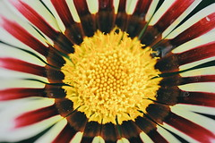 Palingenesis (technicolor dreams) Tags: flower macro nature canon colorful dof drugs t3 pollen 60mm trippy psychedelic rebirth 1100d palingenesis