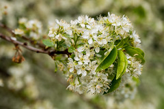 2016-05-03-001-MaMa - Augsburg - CPotC - 0161 - C00001s - W1920 (mair_matthias_1969) Tags: plant macro tree de bayern deutschland lumix blossom outdoor pflanze panasonic nophotoshop makro blte baum augsburg g7 g70 mft nodirtytricks microfourthirds dmcg7 lumixg7 lumixg70 dmcg70 gvario14140f3556 ohneschmutzigetricks keineschmutzigentricks