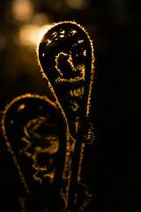 Backlit Fern (Ed Swift) Tags: fern canon flora 7d 365 goldenhour 2470f4lis