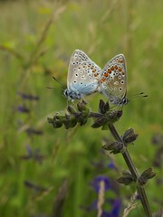 Hauhechel-Bluling [ Common blue ] [ Puktrneblvinge ] ( Polyommatus icarus ) (ritschif) Tags: butterfly natur commonblue polyommatusicarus hauhechelbluling tagfalter puktrneblvinge blulinge dagfjrilar