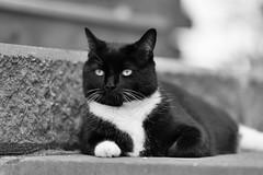 Rubenesque (mikeyatswb) Tags: blackandwhite bw monochrome cat tuxedocat fatcat nonchalant shallowdepthoffield rubenesque silverefexpro