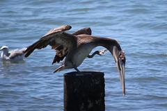 To scratch an itch (Neva Swensen) Tags: foot pelican scratch itch
