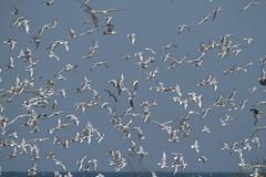 Bonaparte's Gulls - a lot of 'em (Rita Wiskowski) Tags: white birds wisconsin flying inflight gulls flight manitowoc impoundment manitowoccounty manitowocimpoundment