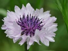 inside... (andrea.zanaboni) Tags: white flower macro colors nikon inside fiore colori bianco