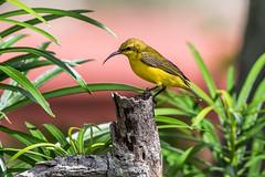 Not A Studio Shot! (gecko47) Tags: bird female backyard suburban mango perched townsville sunbird nectoriniajugularis yellowbelliedsunbird
