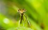Look at me (gabrielegalloni) Tags: macro verde green primavera nature grass yellow river insect spring eyes nikon dragonfly fiume sigma natura occhi erba giallo mm 105 insetto sympathy simpatia libellula delicatezza d3100