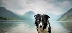 Trust in Me ... (JJFET) Tags: dog eye dogs eyes collie paddy sheepdog border collies