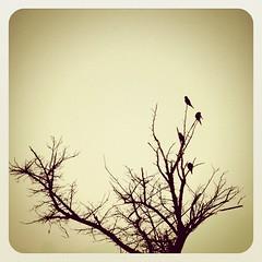 birds playing on the branches... (jen_journal) Tags: tree nature birds jj minimalism teg photooftheday whitespace lessismore earlybird iphone4 ignation iphoneography iphonesia jjforum earlybirdlove uploaded:by=flickstagram instagram:photo=1345354701047475 twittey888