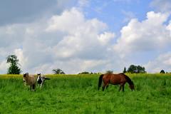 Picture Book Szene (ivlys) Tags: germany allemagne deutschland taunus einrich drsdorf pferde horses wiese meadow feld field himmel sky blau blue wolken clouds weis white lndlich rural landschaft landscape nature ivlys