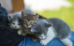 kittens (05) (Vlado Fereni) Tags: cats animals kitty croatia kittens catsdogs animalplanet hrvatska hrvatskozagorje zagorje tamron9028macro nikond600