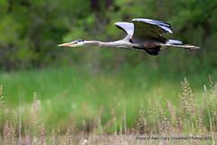 Extend Yourself (Gary Grossman (out taking pictures)) Tags: bird heron washington spring flight pacificnorthwest hunter predator greatblueheron nationalwildliferefuge ridgefield garygrossmanphotography