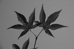 Japanese maple (hogtown_blues) Tags: blackandwhite monochrome leaves blackwhite experiment japanesemaple