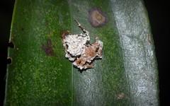 ambushed hunter (dustaway) Tags: nature death rainforest decay australia fungus nsw arthropoda rotarypark arachnida lismore deadspider araneae araneomorphae northernrivers arkysalatus arkyidae