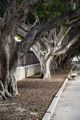 Trapani, Sicily (Ken Barley) Tags: italy sicily trapani moretonbayfig ficusmacrophylla australianbanyan