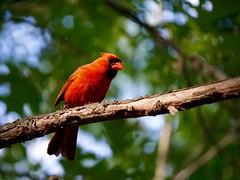 Cardinal ((Jessica)) Tags: red green bird nature boston branch cardinal bokeh wildlife massachusetts newengland woburn