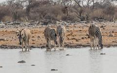 CAC_8817-20150923 (C&P_Pics) Tags: na namibia burchellszebra etoshanationalpark oshikoto namutonicamptohalalicamp