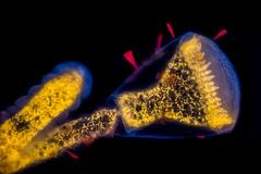 Hydrozoan with diatoms (pwnell) Tags: nature algae photomicrography diatoms hydrozoan autofluorescence