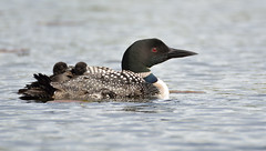 Hitchhikers (Mark Polson) Tags: blue water swim back chicks wi loon hitchhikers sarona