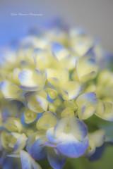(yoko.wannwannmaru) Tags: 20160526dsc7572n hydrangea blue macro nikond810 flower blossoms outdoor plant