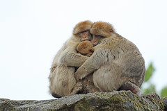 Group hug 3 (M_squared Images) Tags: france lot rocamadour barbarymacaque macacasylvanus fortdessinges msm1935