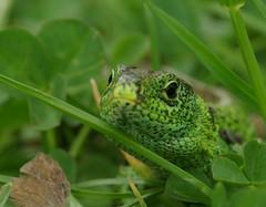 IMGP8770 (hodihu) Tags: eidechse reptil garten grn kopf gras tier