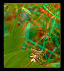 Tiny Grasshopper 1 - Anaglyph 3D (DarkOnus) Tags: macro closeup stereogram 3d phone pennsylvania cell anaglyph stereo tiny grasshopper stereography buckscounty huawei mate8 darkonus