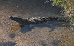 At The Waters' Edge (philnewton928) Tags: africa wild nature animal southafrica outdoors nikon natural outdoor reptile wildlife safari crocodile animalplanet krugernationalpark kruger nilecrocodile crocodileriver malelane crocodylusniloticus d7200 nikond7200 krokodilriver