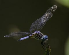 DragonFly_SAF7670 (sara97) Tags: nature insect outdoors dragonfly missouri saintlouis predator citypark towergrovepark mosquitohawk urbanpark photobysaraannefinke copyright2016saraannefinke