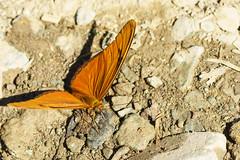 20160111_jara_0202.jpg (elmayimbe) Tags: do lavega schmetterling jarabacoa karibik juliabutterfly dominikanischerepublik nordamerika paloblanco dryasiuliadominicana