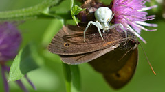 Dinnertime. (nyanc) Tags: wild summer color macro nature netherlands butterfly insect spider wings nikon colorful europa europe flickr wildlife spin nederland natuur insects zomer wit crabspider dinnertime limburg vlinder insecta vleugels krabspin whitecrabspider earthnaturelife