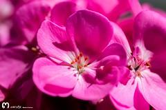 a veces, cualquier detalle.. puede convertirse en un recuerdo con mucho significado... (ma_rohe) Tags: summer summertime flowers flowerstagram blossom geranio geranium nikonistas nikond3200 nikon 55mm macro macrophotography macrolens