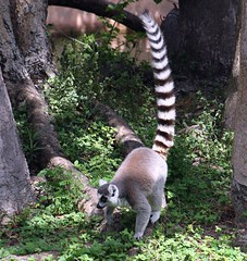 Ring-tailed Lemur (PelicanPete) Tags: trees shadow usa nature beauty walking monkey colorful unitedstates natural florida miami outdoor tail large fast lemur sunlit forestfloor primate vegitation longtail southflorida vocal ringtailedlemur miamiflorida lemurcatta dadecounty specanimal diamondclassphotographer flickrdiamond zoomiami dmslair