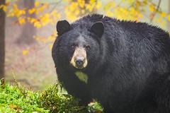 Grandfather Mountain '13 (R24KBerg Photos) Tags: northcarolina nc nature canon outdoors 2013 grandfathermountain bear blackbear animal