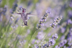 He's in the lavender (dog ma) Tags: lavender purple flowers nikon d700 nikkor 105mm dogma jodytrappephotography hummingbird gloriousnatureartcollection