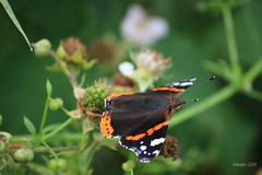 IMG_0258_kw - Atalanta - Vanessa atalanta (Monique van Gompel) Tags: butterfly aurelia atalanta vlinder vanessaatalanta dagvlinder