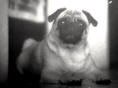 Asian Beauty (MauroLaScalea) Tags: portrait blackandwhite bw dog pet film animal analog 35mm minolta kodak venezuela grain caracas newbie expired amateur 58mm analogphotography minoltasrt101 beginner srt101 asa400 rokkor