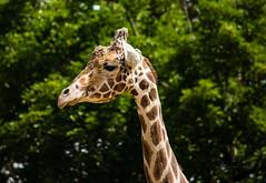 Jimmi! (Donald.Gallagher) Tags: animals giraffe horizontal jimmi lenstagger md mammals maryland nature northamerica plumptonparkzoo risingsun spots summer typecolor typeportrait typetelephoto usa zoo brown