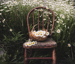 Daisies in a ditch  (bonnie5378) Tags: chair daisies basket intheditch june2016